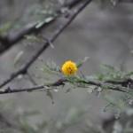 Acacia blossim