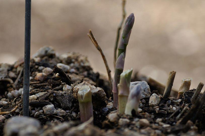 Asparagus grows like a grass