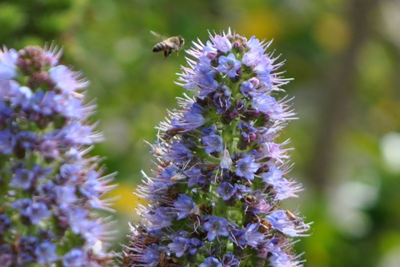 bee-purpler