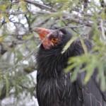 condor-peek