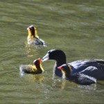 coots-family