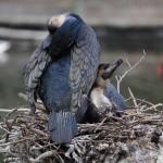 cormorant-partners