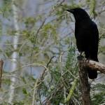 crow-acacia