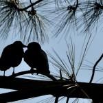 crow-kiss