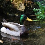 duck-mallard_pose