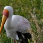 ibix-grass