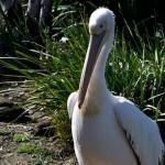 pelican-pose