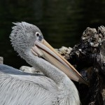 pelican-poser